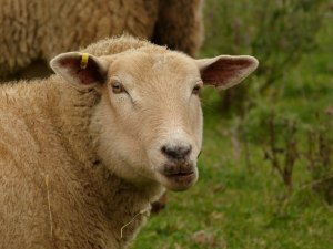 better sheep photo closeup